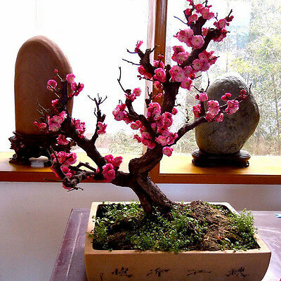 10pcs seeds RED PRUNUS ( prunus mume ) bonsai seeds Home Garden Decor