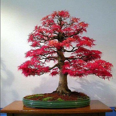 Rare American Red Maple Bonsai Tree - 20 Fresh Viable Seeds Pot Plants