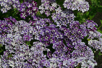 Phlox Sugar Stars - 50 seeds - Ideal for cut flowers - Annuals