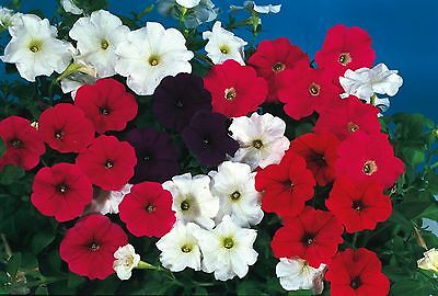 Flower - Kings Seeds - Pictorial Packet - Petunia Cascade  Mixed F1