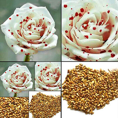 200pcs White Drop of Blood Rose seeds, magical flowers plant Seeds
