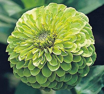 Zinnia Green Envy dahlia flowered - 150 seeds - Annuals
