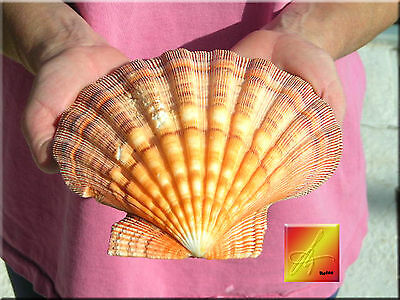 "Orange Lions Paw Scallop 5-6"" Seashell for Baking Smudging Craft Beach Decor"