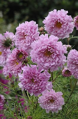 Flower - Kings Seeds - Pictorial Packet - Cosmos - Double Click Rose Bonbon