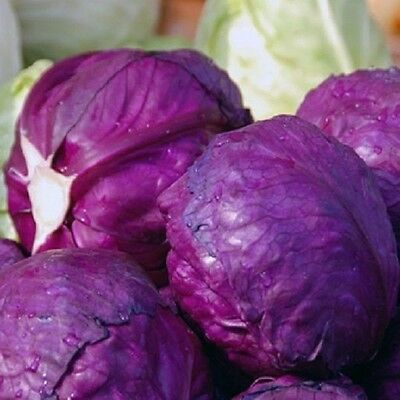 Vegetable Cabbage Cabeza Negra 3 Red  Appx 2000 seeds