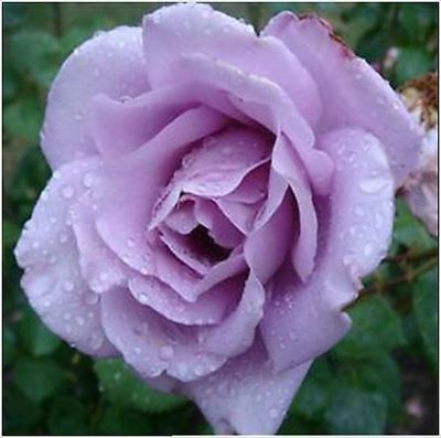 10 Climbing Rose Seeds Climber Blue Moon Perennials Flower Bulk Double