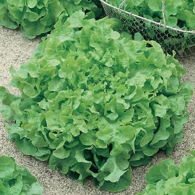 SALAD BOWL GREEN LETTUCE 1000+ Heirloom Vegetable Seeds Crisp Tender Sweet
