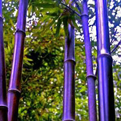 100 PCS Purple bamboo seeds Flower Seed Potted Ornamental Home Garden seed