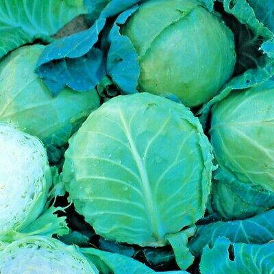 Vegetable Cabbage Holland late Winter approx 600 seeds