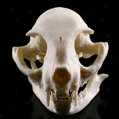 Realistic Cat Skull Replica Medical Teaching Skeleton Model Collectibles