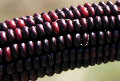 35 BLOODY BUTCHER RED CORN Edible & Ornamental Heirloom Zea Mays Vegetable Seeds