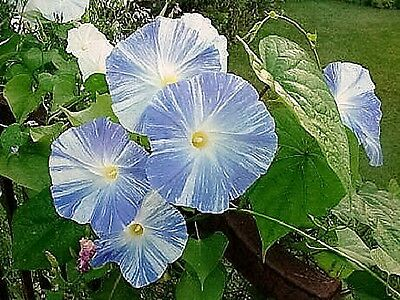 50 Blue & White FLYING SAUCERS MORNING GLORY Flower Vine Ipomea Purpurea Seeds