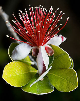 10 PINEAPPLE GUAVA Fruit Brazilian or Fig Guava Flower Pink Red Tree Shrub Seeds