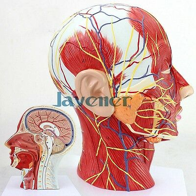 Plastic Life Size Human Anatomical Head And Face Anatomy Medical Teaching Model