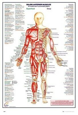 (Laminated) Human Body - Major Anterior Muscles Poster (61X91Cm) New Wall Art