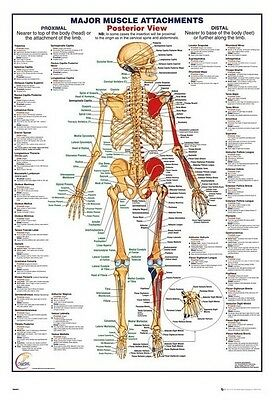 (Laminated) Human Body Major Muscle Attachments Posterior Poster (61X91Cm) New