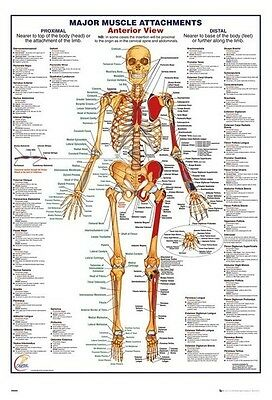 (Laminated) Human Body Major Muscle Attachments Anterior Poster (61X91Cm) New