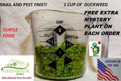 1 cup duckweed  live plants Turtle Herp food Organic no chemicals tank raised