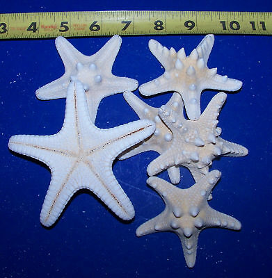 """6 White Bleached REAL KNOBBY STARFISH SEASHELLS WEDDINGS CRAFTS  3""""+ UNDER 4""""+"""