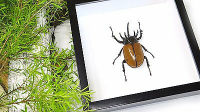 Bug beetle for sale Taxidermy Framed real Rhino beetle BCEG