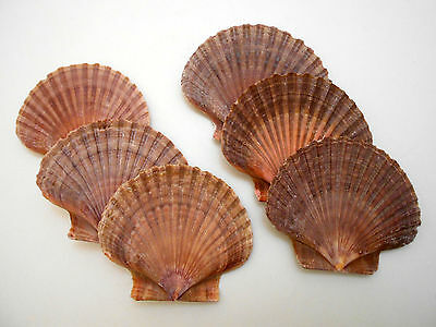 "6 Mexican Flat Scallop Shells Seashells Large 3"" Crafts Coastal Beach Cottage"