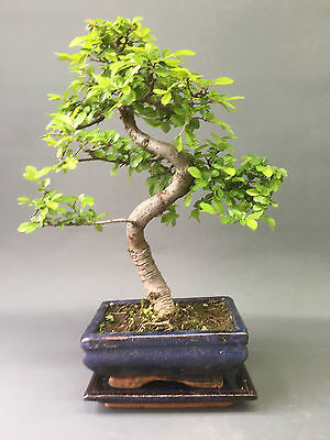 Bonsai Tree, Chinese Elm, 25-30 cmTall With Matching CERAMIC DRIP TRAY