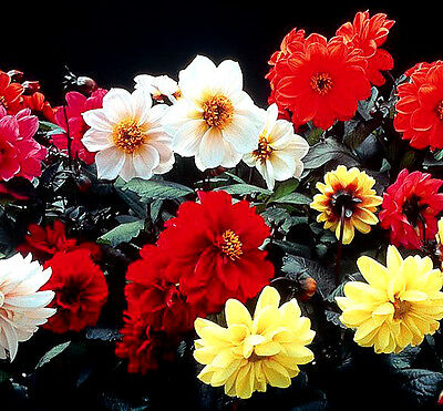 Dahlia Red Skin 120 seeds - Annual