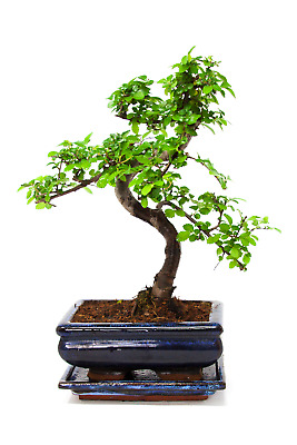 Bonsai Tree, Chinese Elm, 25-30cmTall With Matching CERAMIC TRAY