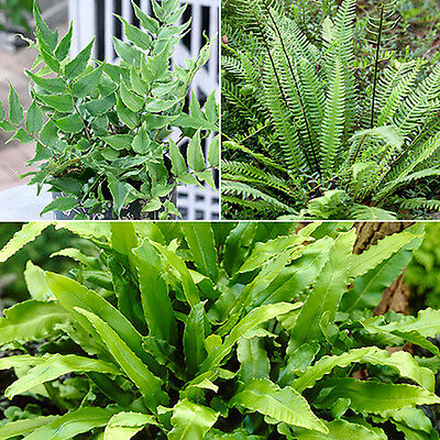 Pack of 3 Evergreen Hardy Ferns in 9cm Pots