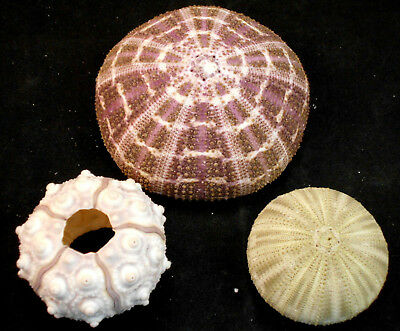 Decorative Sea Urchin Sampler: Natural Sputnik, Green and Alfonso Nautical Beach