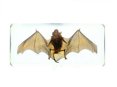 Real Bat Specimen -- Common Pipistrelle (Lucite-clear) in Resin