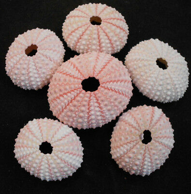 6 Pink Sea Urchin Seashells Shells Beach Wedding Craft Nautical Decor Airplants
