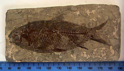 Large VISIBLE SCALES JIANGHANICHTHYS FOSSIL FISH CHINA 110MM FC85
