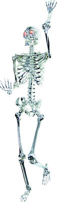 Morris Costumes Chrome Light Up LED Eyes 5 Feet Plastic Skeleton Prop. SS72098