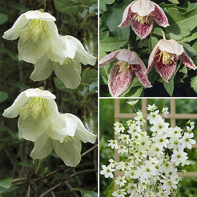 Evergreen Clematis Collection 3 x plants in 9cm pots 20cm tall - 3 varieties