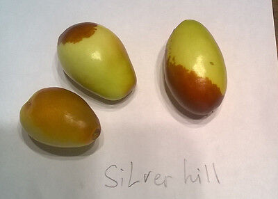Jujube Silverhill, chinese jujube, 5 fresh cuttings