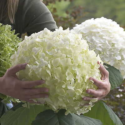 """Tree Hydrangea """"Incrediball"""" (Strong Annabelle) plant in 9cm pot"""