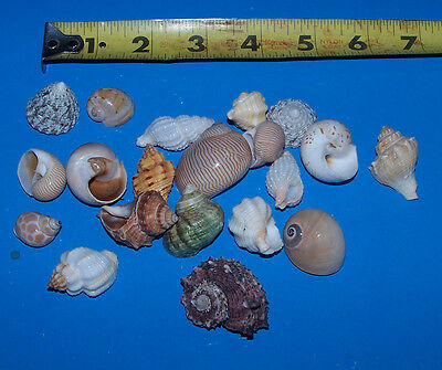 20 - ASSORTED  tiny - small Hermit Crab Shells FREE SHIPPING! READ! item # LL20h