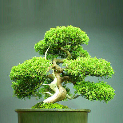 Organic Juniper Bonsai Tree Seeds Purify Air Easy to Grow Home Office Decoration