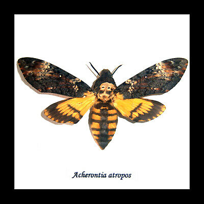 Deaths Head Moth Taxidermy 'silence of the lambs' real Acherontia atropos BAAST