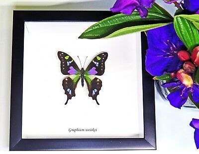 Mounted purple butterfly in shadowbox frame GRAPHIUM WEISKEI BAGW