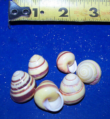Lot 6 Yellow Snail Hermit Crab Shell Seashells Crafts Tanks Item # 1017-6