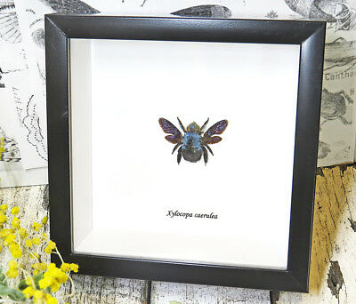 Bee Taxidermy Framed real Bees display