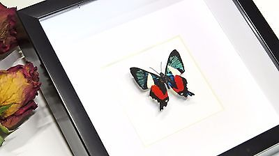 Framed Real Butterfly - Ancyluris formosissima