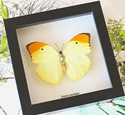Framed Real Butterfly - Anteos menippe