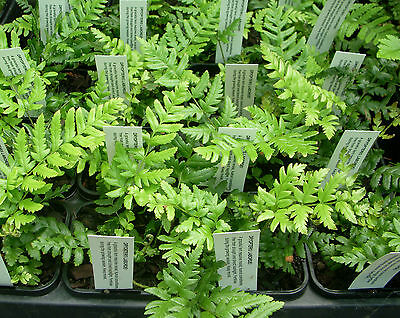 Dryopteris labordei - Asian Wood Fern - Pretty, and Cold Tolerant too!!