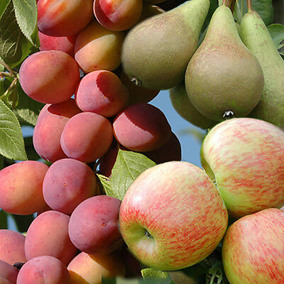 Mini Orchard Fruit tree Collection - 3 bare root trees - Apple, Pear,Plum 1.4M