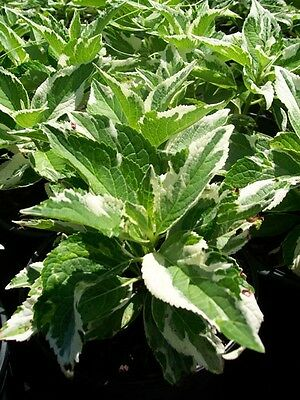 Varigated Hydrangea 3 Gal. Plant Large Multi Color Leaf Easy to Grow Plants Now!