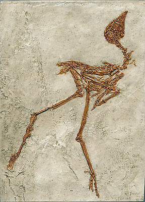 Well Detailed Complete Fossil Rail Bird