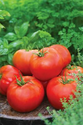Vegetable - Kings Seeds - Picture Packet - Tomato - Big Daddy - 15 Seeds